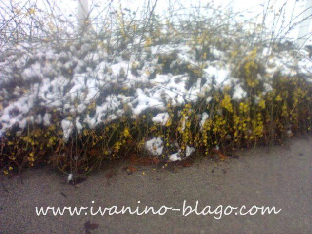 Forzicija pod snegom